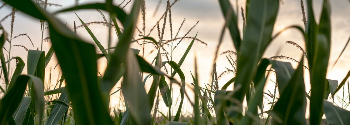 shallow-focus-photography-of-corn-field-1366083